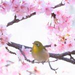 五大桜と訪れたい城址ーその5ー石戸蒲桜