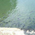 高松城下で奨励された水任流泳法とは?